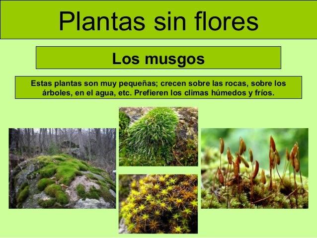 plantas sin flores los musgos estas plantas son muy pequeñas