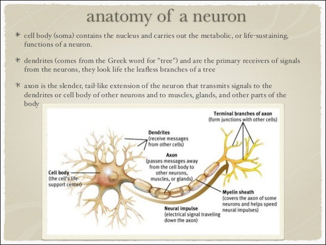 Image Gallery neuron structure and function