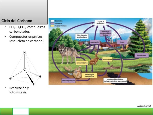Ciclo del Fósforo • PO4 3-: fosfato • Fosfolípidos, Ácidos nucleicos. • Eutroficación Audesirk, 2013