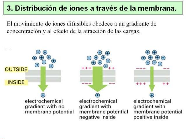1. Introducción • Axón gigante de calamar: modelo experimental donde se sentaron las bases de la teoría iónica del impulso...