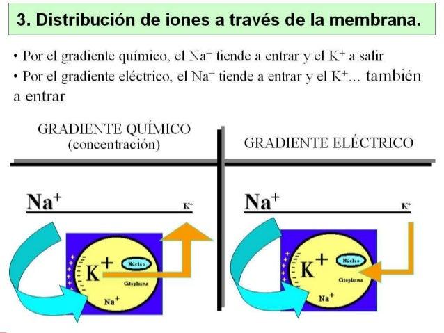 2. Excitabilidad celular • La aplicación de un estímulo eléctrico artificial provoca la apertura de canales de Na+ voltaje...