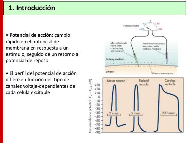 Absoluto Es el periodo de tiempo en el que el axón es incapaz de responder a un segundo estímulo. La causa son los canales...