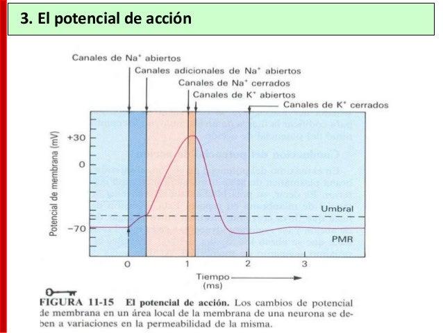 Árbol dendrítico Soma Axón Núcleo Cono axónico 2. Morfología de la neurona Las neuronas presentan grandes diferencias en s...