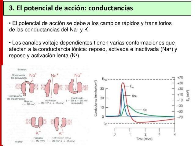 3. Generación del potencial de acción http://cajal.com/ • Las dendritas actúan como antena receptoras de señales: sinapsis...