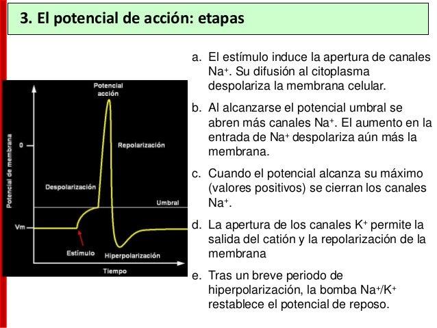 • El potencial de acción es conducido a lo largo de las fibras nerviosas (axones) sin reducir su intensidad. • La forma y ...