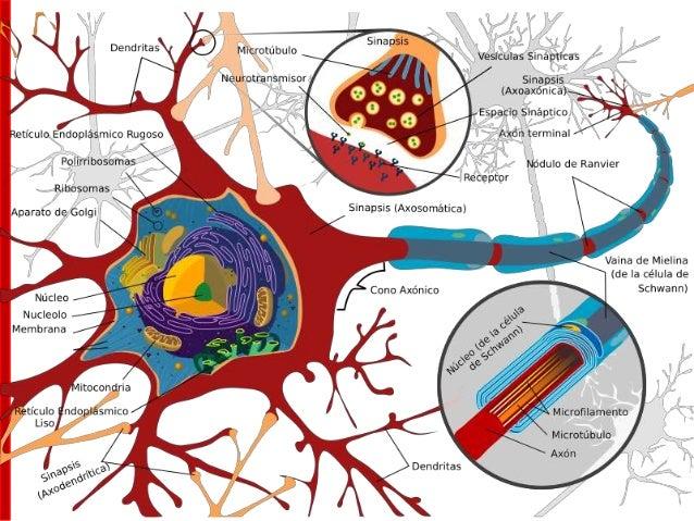 Sinapsis: zona especializada de contacto entre las neuronas donde tiene lugar la transmisión de la información. → zona de ...