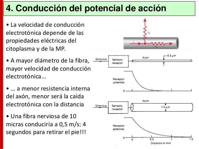 Los receptores median los cambios en el potencial de membrana de acuerdo con: – La cantidad de NT liberado – El tiempo que...
