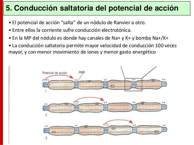 Si un único PEPS no induce un potencial de acción y un PIPS aleja a la membrana del umbral, ¿Cómo se produce un potencial ...