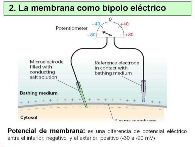 5. Potencial de membrana en reposo ¿Se puede estimar el potencial de membrana en reposo teniendo en cuenta todos los poten...