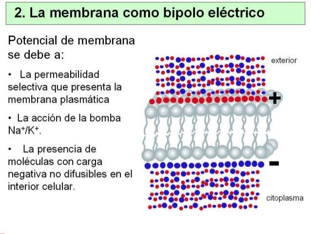 6. Potencial de membrana en reposo • La conductancia (permeabilidad) de la MP depende del nº de canales y de si están abie...