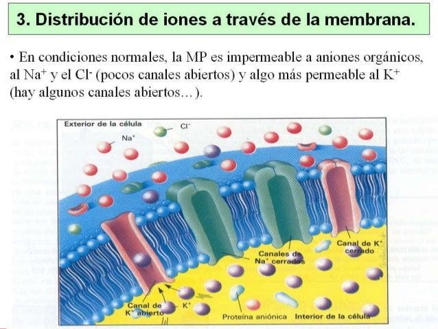 1. Introducción • Potencial de acción: cambio rápido en el potencial de membrana en respuesta a un estímulo, seguido de un...
