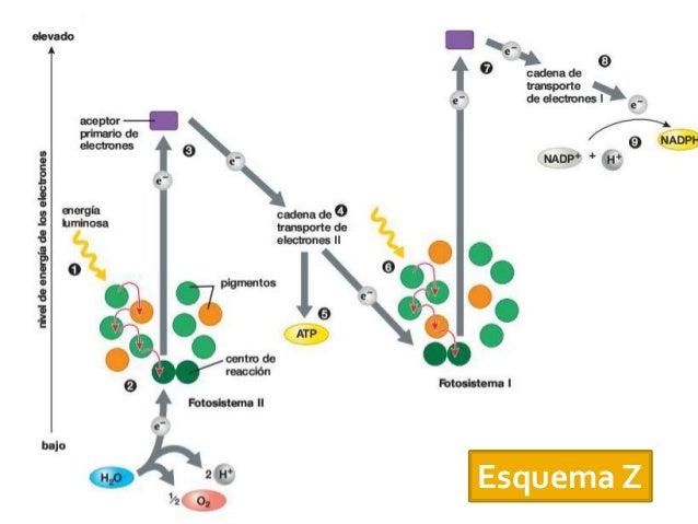 Plantas C3 Plantas C4 Plantas CAM Ambos procesos en una célula. Células del Mesófilo y de laVaina Ambos procesos en una cé...