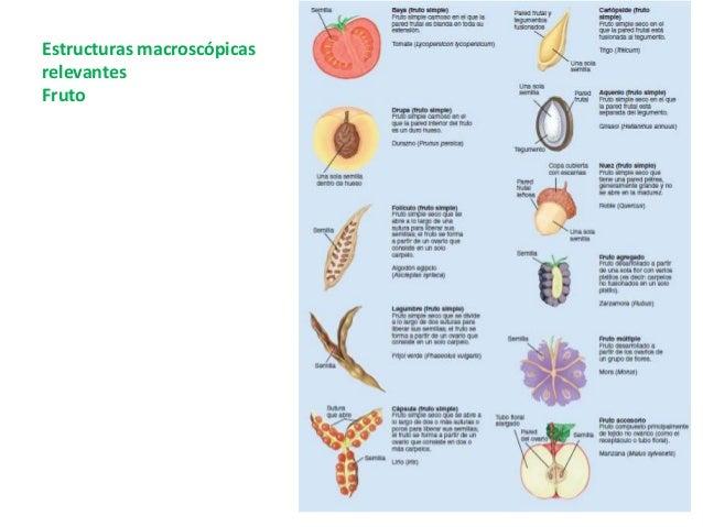 Estomas • Son diminutas aberturas de la epidermis de la hoja. • Permiten el intercambio de gases entre las células de la h...