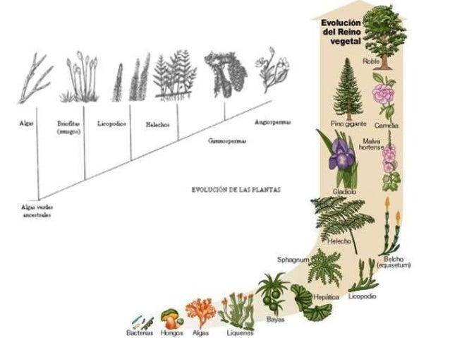 Evolución de las plantas • Hitos previos: – Pigmentos (café, rojizo y verde) – Fotosíntesis – Pared celular • Hitos – Apar...
