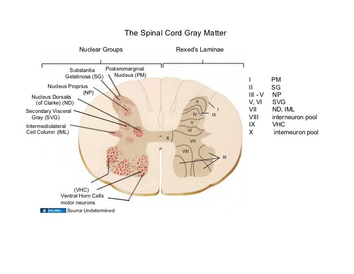 ... muscles Source Undetermined; 27. The Spinal Cord Gray Matter ...
