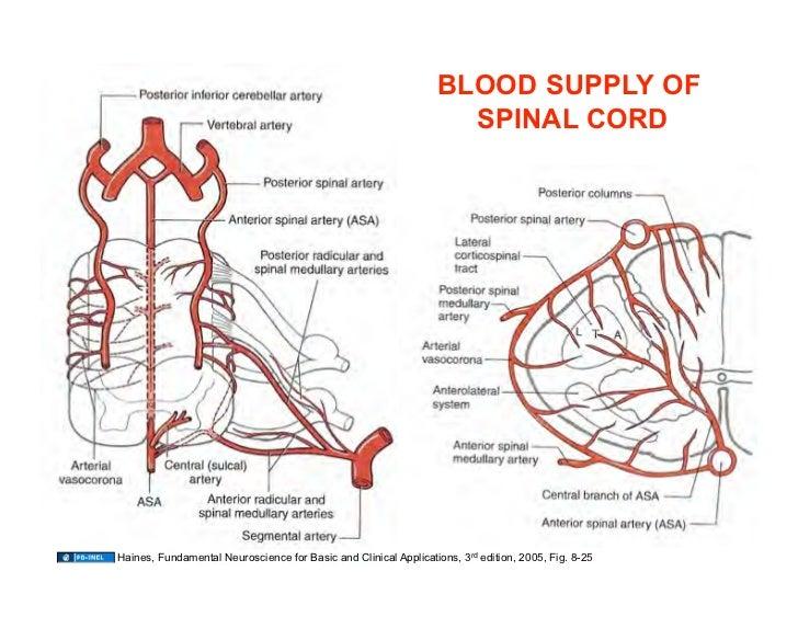 Vertebral artery segmental anatomy