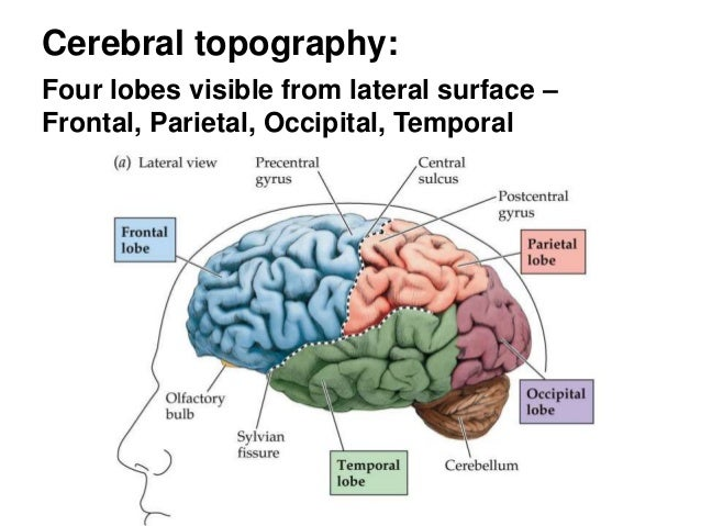 030915 overview gross neuroanatomy student