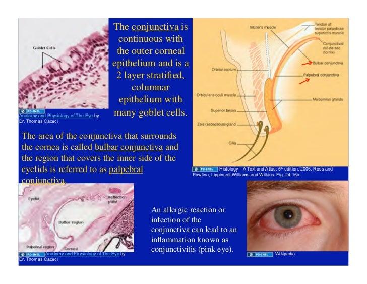 03.18.09(c): Eye Histology