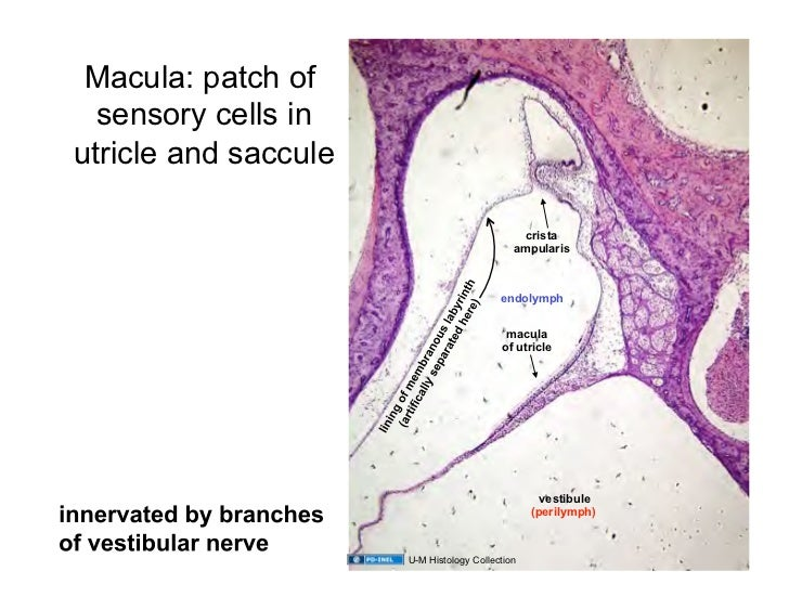 031809d Ear HistologyUtricle And Saccule Histology