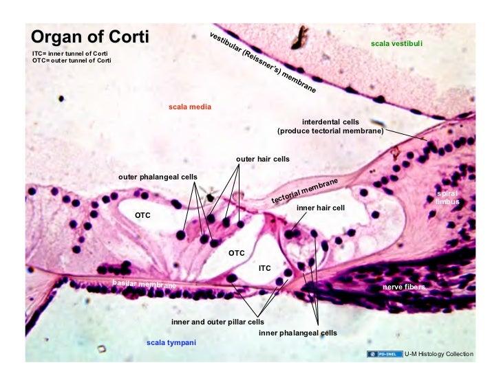 ear histology