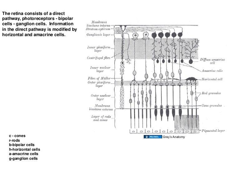 03 20 09  retina and visual system
