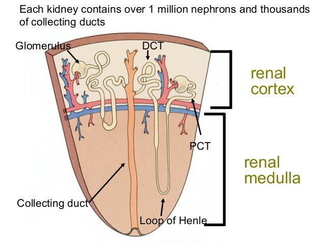 Anatomy of the renal system