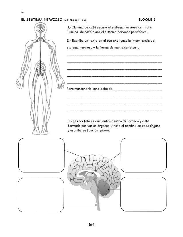 Contemporáneo Sistema Nervioso Hoja Pdf Regalo - hojas de trabajo ...