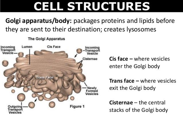 an overview of body cells and the strict genetic controls Human body, the physical substance of the human organism, composed of living cells and extracellular materials and organized into tissues, organs, and systems human anatomy and physiology are treated in many different articles.