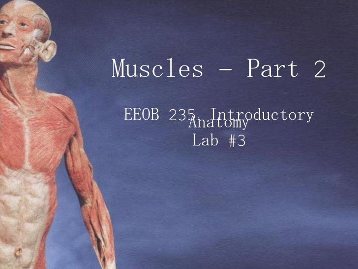 Muscles – Part 2 EEOB 235: Introductory Anatomy Lab #3