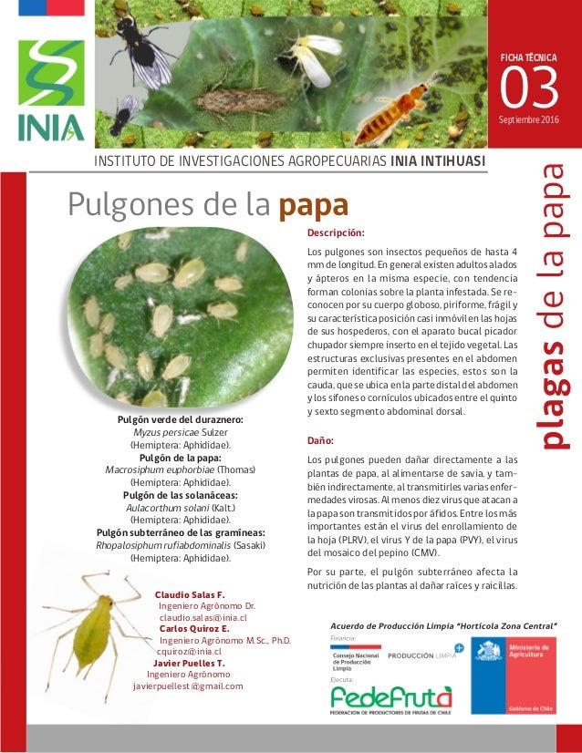 FICHA TÉCNICA 03 INSTITUTO DE INVESTIGACIONES AGROPECUARIAS INIA INTIHUASI plagasdelapapa Pulgón verde del duraznero: Myzu...
