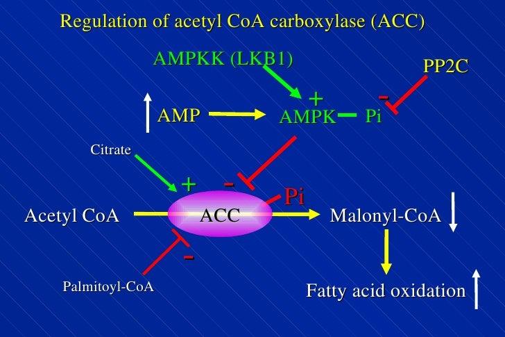 Regulation of acetyl CoA carboxylase (ACC) AMP AMPKK (LKB1) + AMPK Pi Pi - Acetyl CoA Malonyl-CoA Fatty acid oxidation ACC...