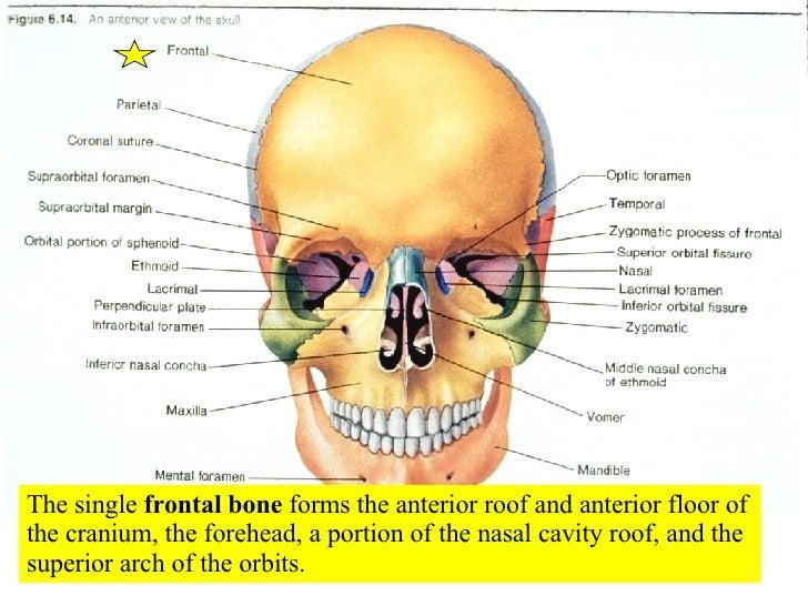 04 Axial Skeleton Skull