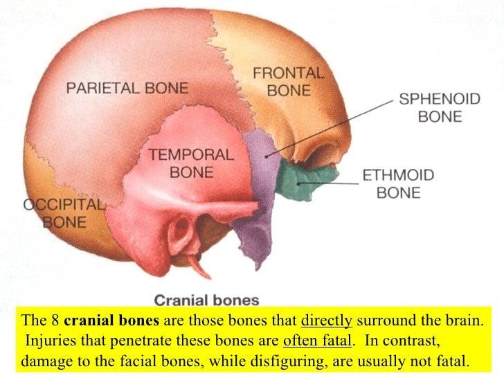 axial skeleton skull, Cephalic Vein