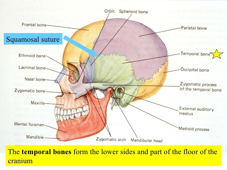 Skeleton Skull Sutures Diagram - Electrical Work Wiring Diagram •