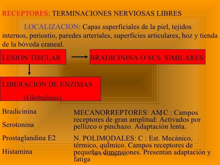 Dr. J. Velásquez G. RECEPTORES : TERMINACIONES NERVIOSAS LIBRES LOCALIZACION : Capas superficiales de la piel, tejidos int...