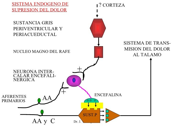Dr. J. Velásquez G. ?  CORTEZA SUSTANCIA GRIS PERIVENTRICULAR Y PERIACUEDUCTAL NUCLEO MAGNO DEL RAFE NEURONA INTER- CALAR ...