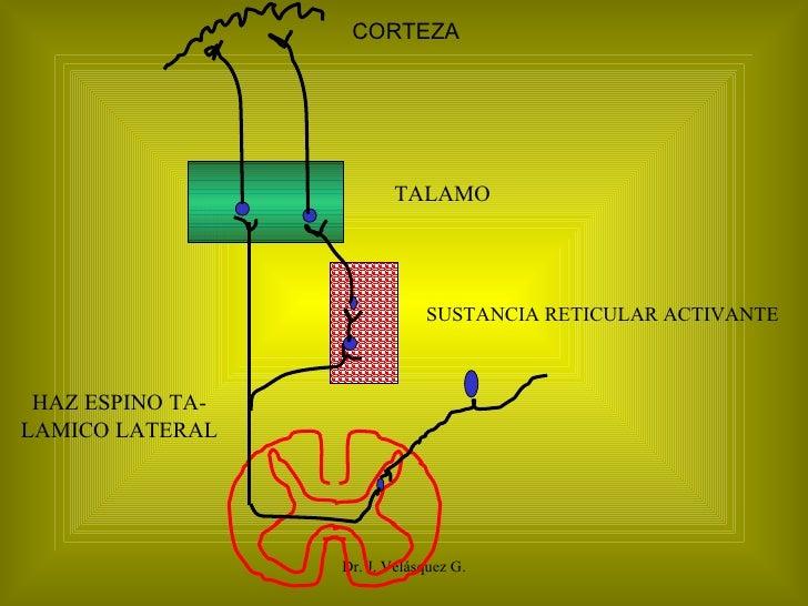 Dr. J. Velásquez G. CORTEZA TALAMO SUSTANCIA RETICULAR ACTIVANTE HAZ ESPINO TA- LAMICO LATERAL