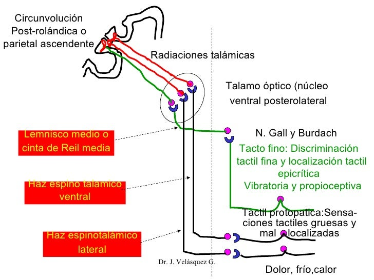 Dr. J. Velásquez G. Circunvolución Post-rolándica o parietal ascendente Radiaciones talámicas Talamo óptico (núcleo  ventr...