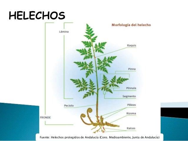 HELECHOS.- GENERALIDADES.