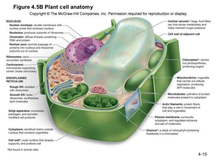 Anatomy Of The Plant Cell Gallery Human Body Anatomy