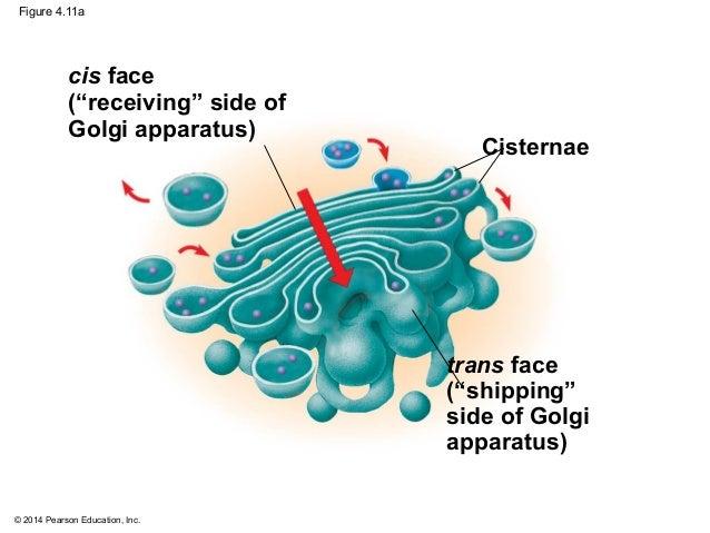 cisternae of golgi apparatus