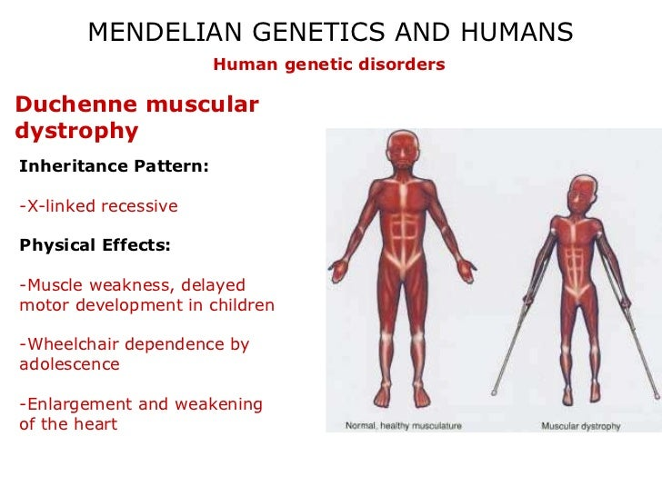 mendelian inheritance in humans lab Question lab 14: mendelian genetics pre-lab questions 1 are incomplete dominant and co-dominant patterns of inheritance found in human traits.