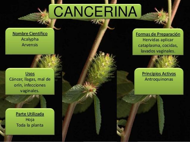 04 plantas medicinales for Manzanilla planta medicinal para que sirve