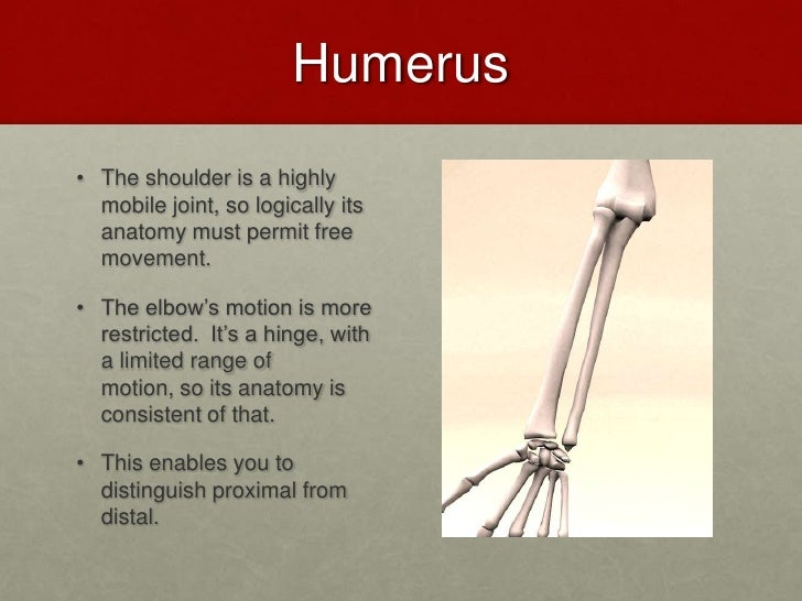 The Appendicular Skeleton English