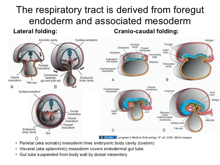 052609b Development Of The Respiratory System And Diaphragm