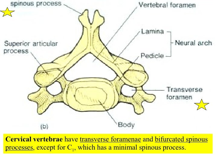 05 Axial Skeleton Vertebral Column And Thoracic Cage