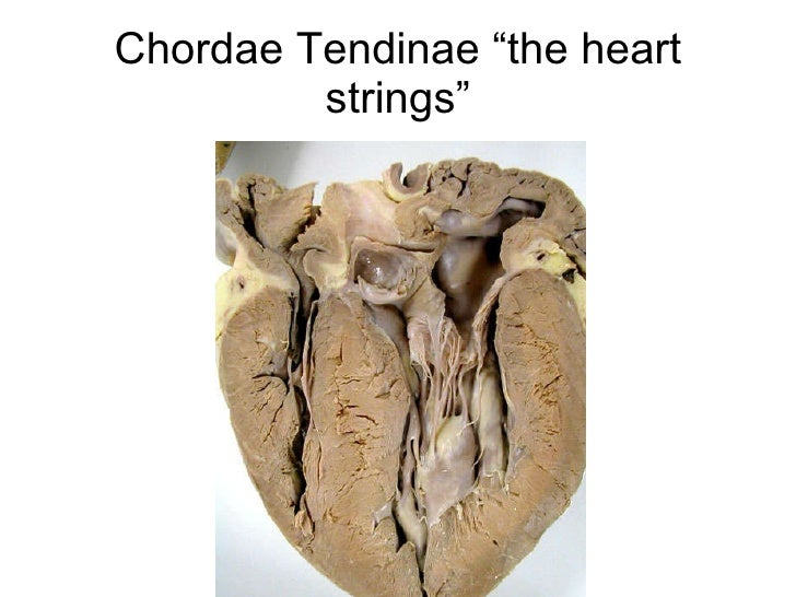 05 circulation chordae tendinae the heart strings ccuart Images