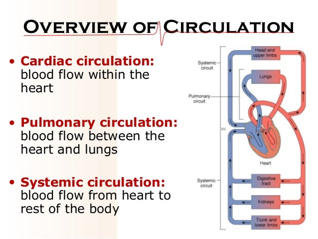 05 circulation, Muscles