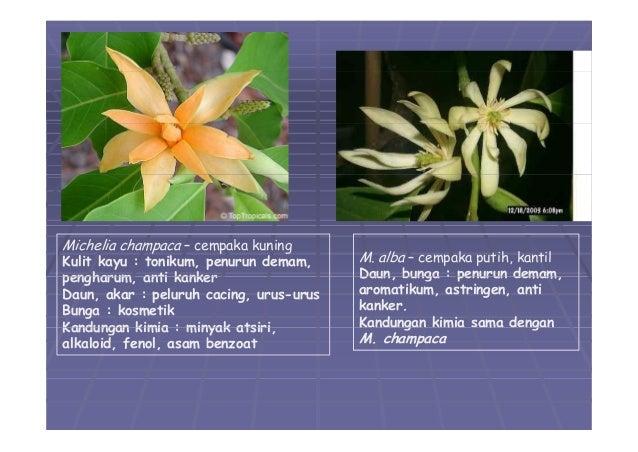 05 divisi magnoliophyta 01 13 contoh contoh cananga odorata ccuart Choice Image