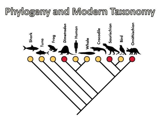 Recall: Phylogeny: the study of the evolutionary relatedness between and among species.